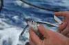 fliegender-fisch